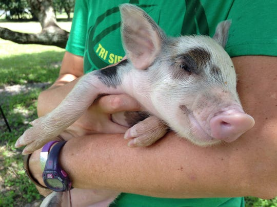 Part of writing about food is visiting our local food sources. And occasionally cuddling a baby pig.