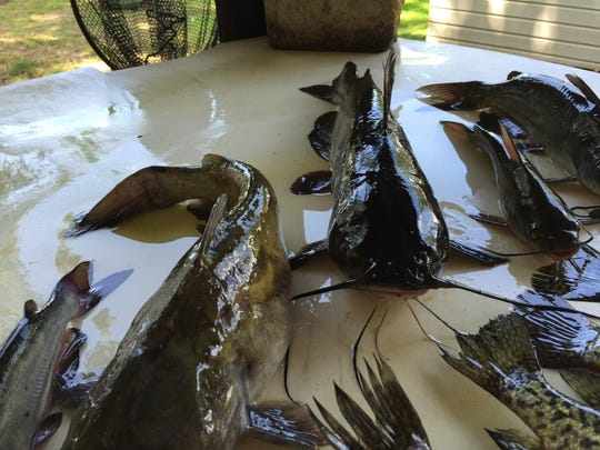 Part of the day's catch on a recent guided trip by Charlie King on Lake Bistineau.