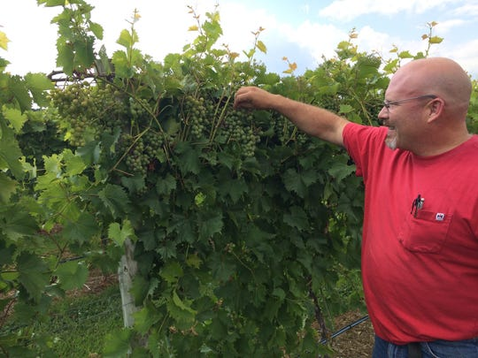 : Layton's Chance Winemaker and Owner William Layton inspects the grapes at the vineyard. Although the winery officially opened 6 years ago, the Layton family has farmed the land in Vienna for decades.