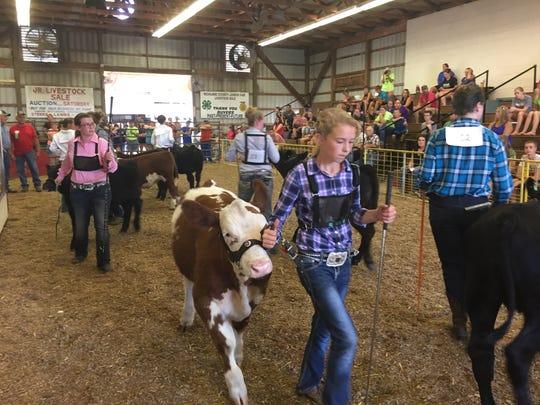 Savannah Harriman shows a calf during the Showman of Showmen contest at the Richland County Fair Friday.