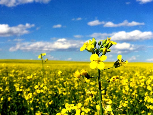 Canola blooms near Great Falls