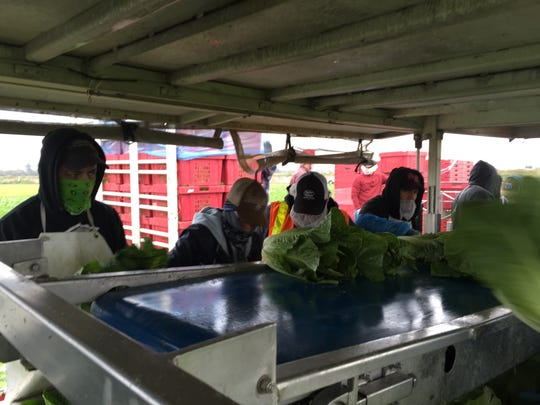 Workers on the automated romaine lettuce cutter