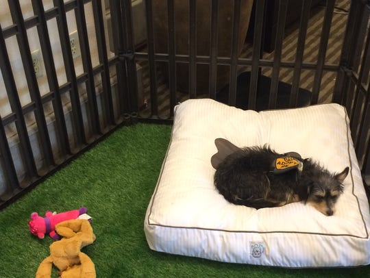 Lilly, a Terrier mix, is living at the Westin Mission
