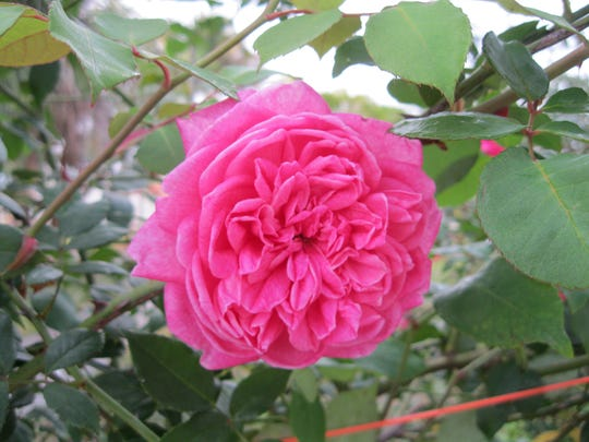Many Old Garden roses, including this Mrs. B.R. Cant, have the constitution to grow in Southwest Florida.