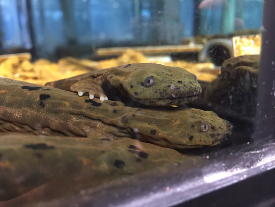 Juvenile Ozark hellbenders being reared at the Saint