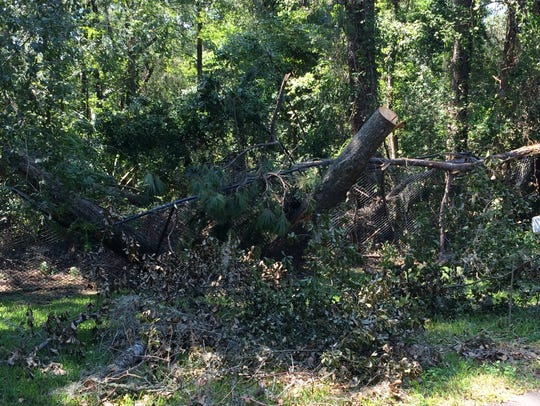 A downed tree on Tallahassee Museum property bisected