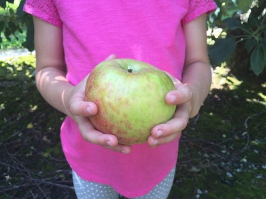 An abundantly big Henderson County apple.