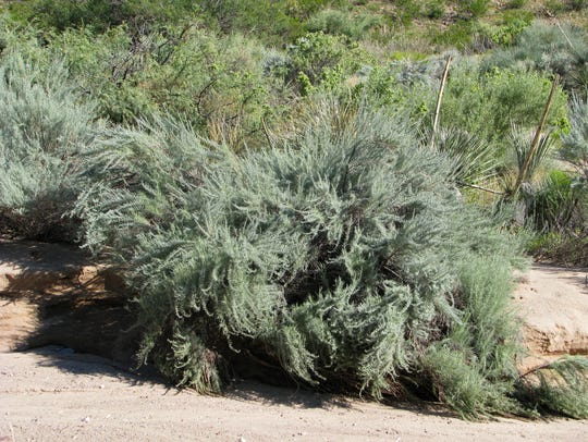 Sand sage in native desert habitat near Picacho Peak.