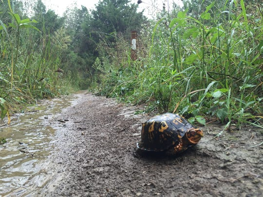 After a torrential rainstorm, we encountered this brightly colored box turtle looking for a drier pathway.