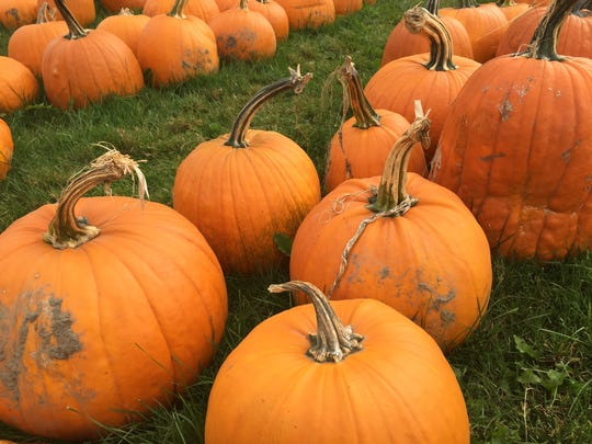Pumpkins line the front yard of Conant's Riverside Farm in Richmond.