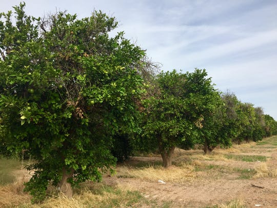 Citrus trees – some healthy, some decaying – currently