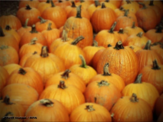 A crowd of pumpkins at Meadowbrook Farm in Wappingers Falls.