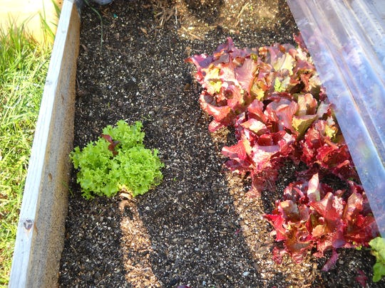 Cold-frame gardening allows help gardeners in colder regions to get a start on their growing seasons.