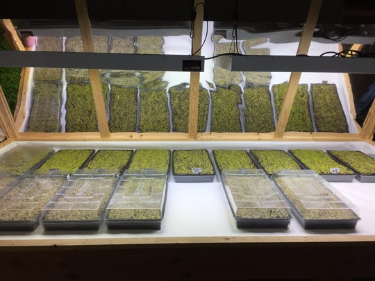 Arugula grows in trays of disinfected dirt at Indoor Organic Gardens of Poughkeepsie on Nov. 29, 2016.
