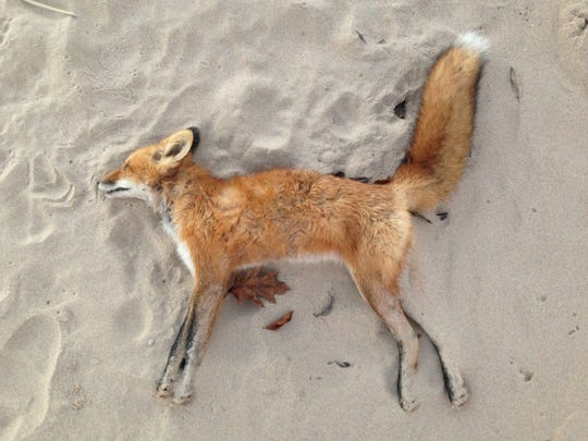 This red fox was found along the beach at Kohler/Andrae State Park this fall. Cause of death unknown.