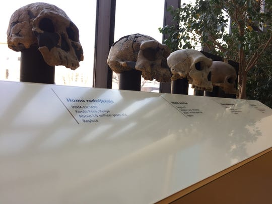 Replicas of skulls from of human ancestors are on display at the Fletcher Free Library as part of the Exploring Human Origins exhibit from Feb 18 to March 17