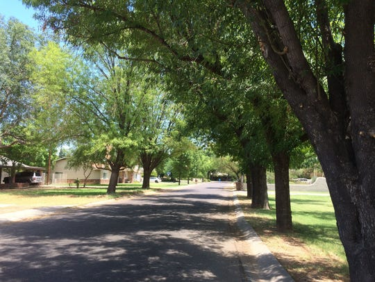 Ash trees lining Tuckey Lane in Phoenix near 15th Avenue,