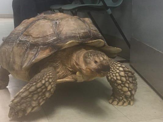 Spike the Tortoise