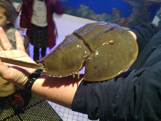 A horseshoe crab greets children at Jenkinson's Aquarium