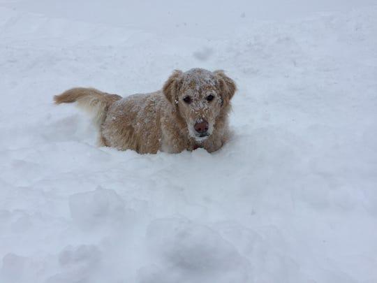 Sam, reporter Dan D'Ambrosio's Golden Retriever, is a true Vermonter. He loves the snow.