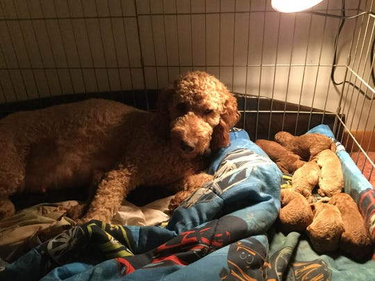 Baby Bella and her goldendoodle puppies that were born on St. Patrick's Day in the Somerset section of Franklin.