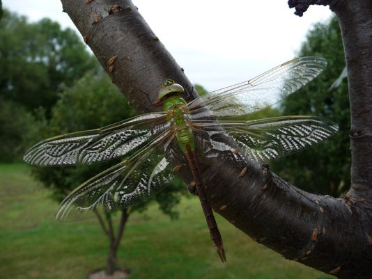 636262304109452126-Dragonflies-are-one-of-the-many-beneficial-insects.JPG