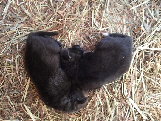 The Louisville Zoo has two new female maned wolf pups.