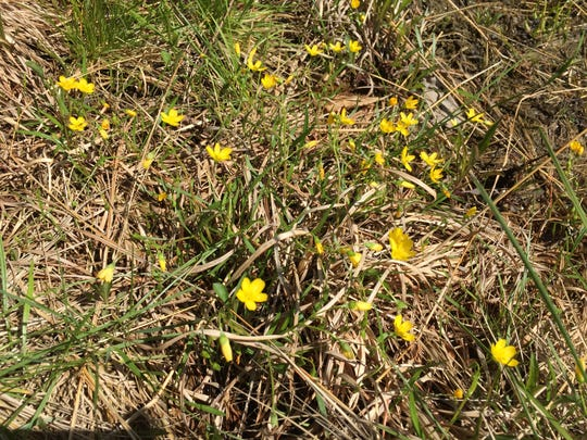Hammond's yellow spring beauties blooming in May in