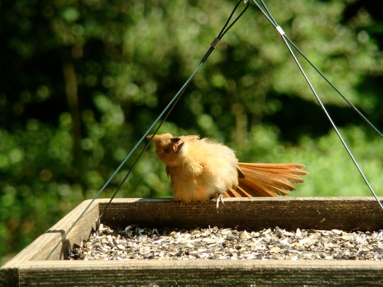 Birds, like this northern cardinal, sometimes adopt strange poses as they bask in the sunshine.