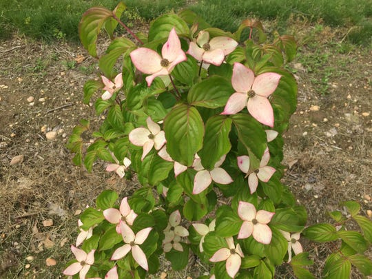 Before Rutgers' success with Scarlet Fire, prior hybrid dogwoods were not able to replicate the intense pink color of native dogwoods.