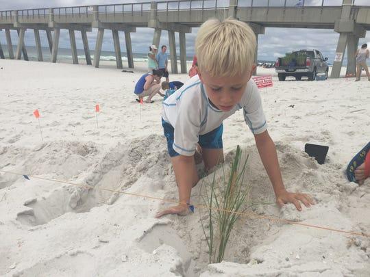 Will Calfee, 8, plants sea oats on Thursday, June 8,