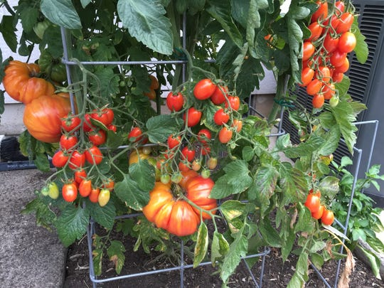 A triple grafted tomato in Harry Olson's yard last summer shows the huge slicer Virgina Sweet growing along side Sweetheart cherries. The torpedo-shaped Blush tomatoes are growing in the back.