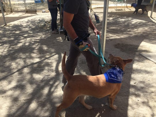 A Palm Springs Animal Shelter volunteer works with