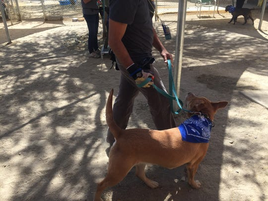 A Palm Springs Animal Shelter volunteer works with a dog at a recent training class.