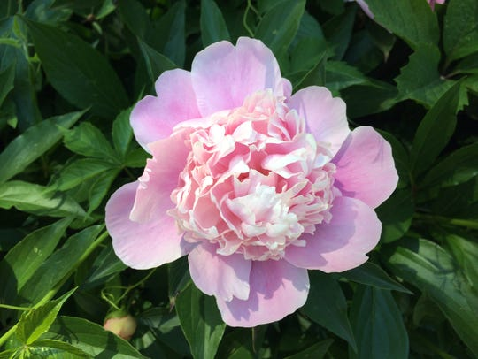 Hundreds of peonies bloom in the yard of Peggy Rentmeister
