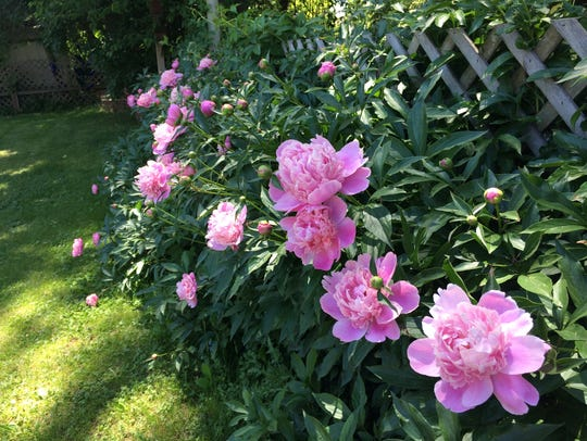 Rows of peony bushes line a fence row that abuts the
