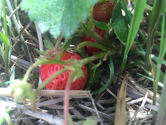 Strawberry season at Apple Hills took a hit from heavy