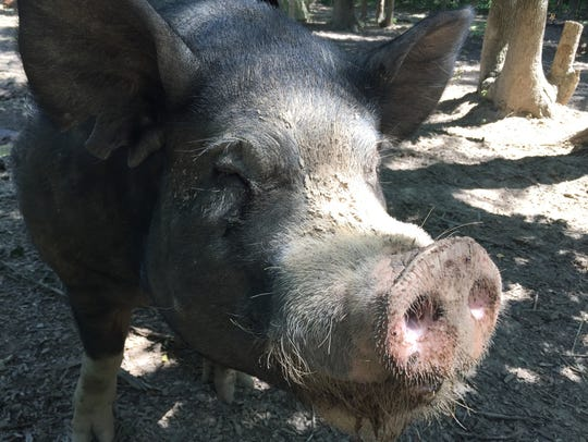 This 850-pound Berkshire pig, named Malcolm, is used