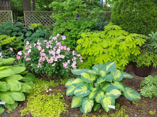 Marilyn Romenesko's 'Great Expectations' hosta tucked in with roses and other plants.