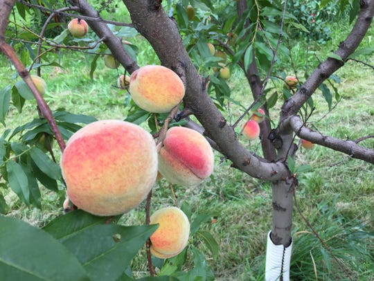 Nick Cowles planted about 60 peach trees more than