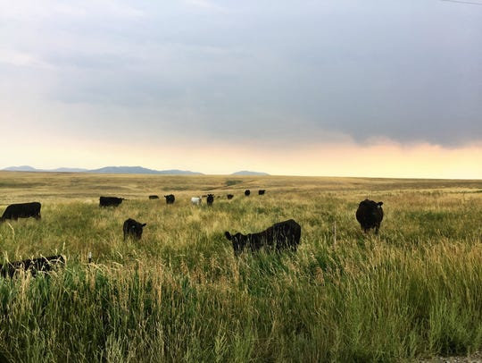 Cattle along the southern foothills of the Highwood