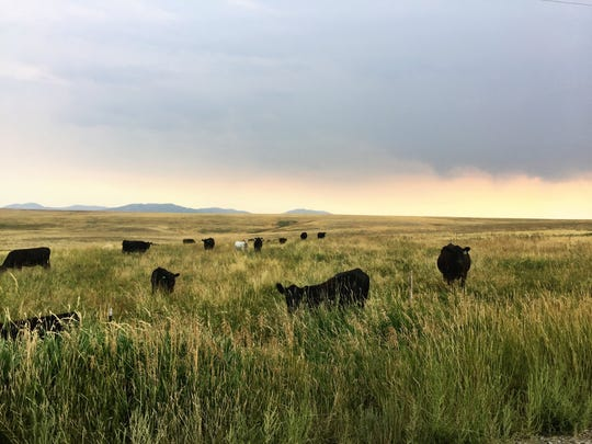 Cattle along the southern foothills of the Highwood Mountains