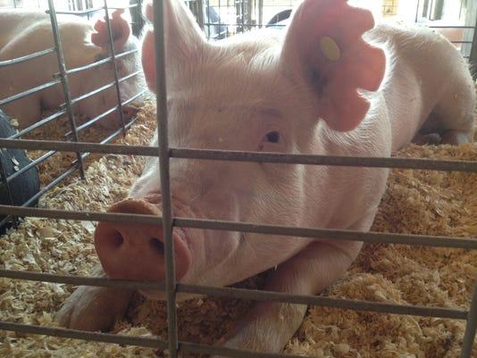 FRE 0818 fair pigs