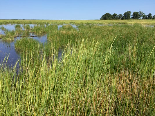 blackwater marsh restoration