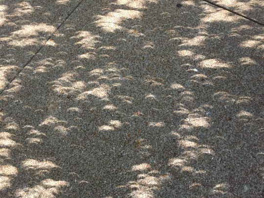 Eclipse sunlight filtering through leaves of a sweet