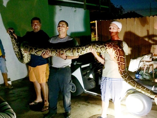 An almost 15 foot Burmese Python was captured on Dec.