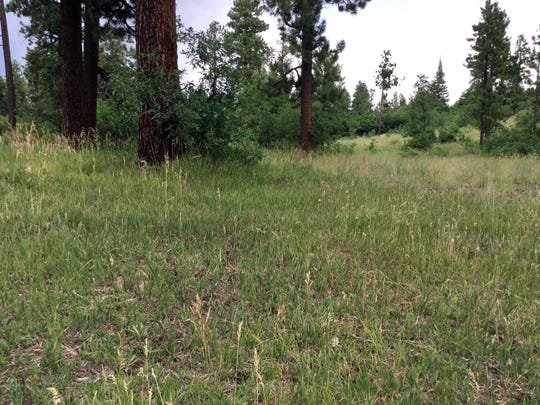 In areas where forest thinning and prescribed burns have occurred, grass has begun to grow in the Jemez Mountains, which allows for more forage areas for certain mammals.