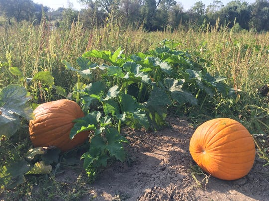Pumpkins wait to be picked at Wilson's Orchard in Iowa City on Sept. 14, 2017.