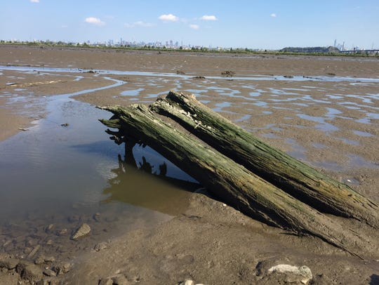 These Atlantic white cedar trunks jut out of the mudflats