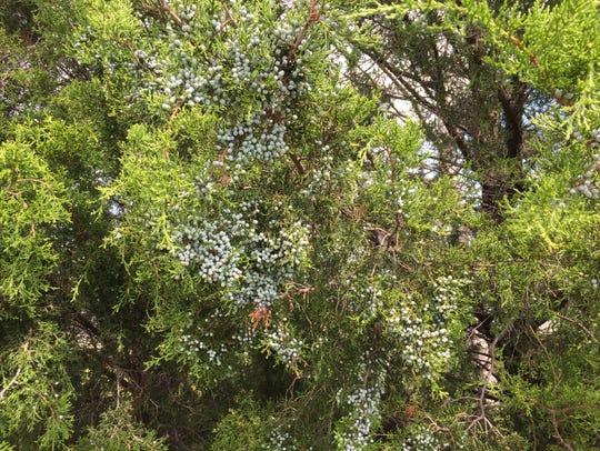 Atlantic white cedars grow small blue-gray cones on
